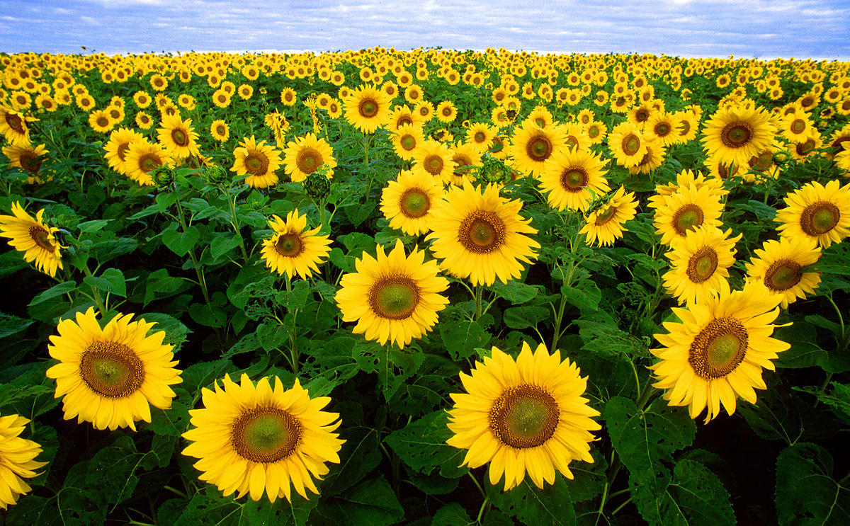 1200px-Sunflowers